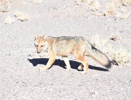 Liberaron un zorro gris que fue rescatado por Minera Exar